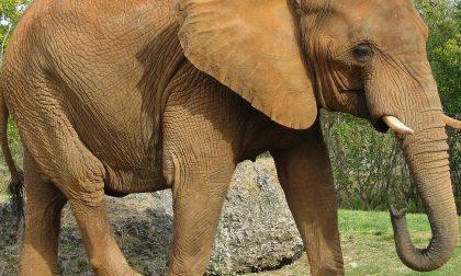 L'elefante nato a Montichiari