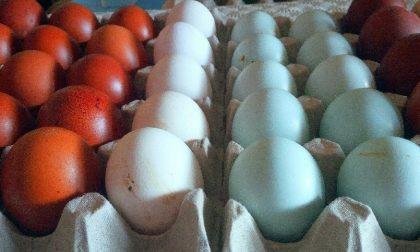 Come in Sud America le uova sono azzurre
