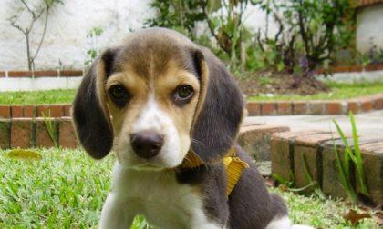 Green Hill, «eutanasia invece di curare i cani»