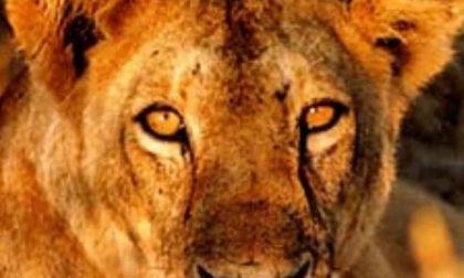 La leonessa di Gavardo sequestrata cerca casa