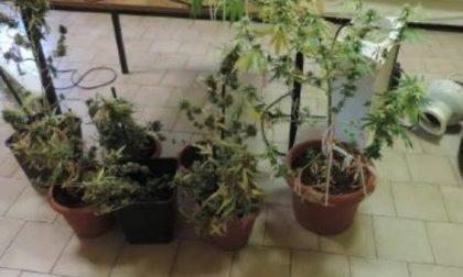 Serra di marijuana a casa: denunciato 25enne