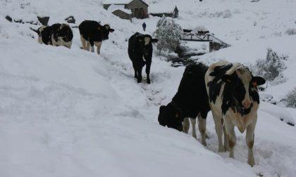 Terremoto, per le mucche 100 posti in Lombardia