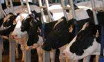 Tubercolosi bovina a Urago Circa 500 animali verso la macellazione