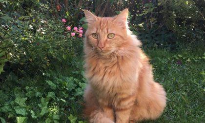 Appello urgente: gatto smarrito a Desenzano