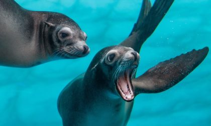 Compleanno dei leoni marini a Sea Life