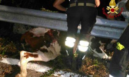 Mucca salvata dai Vigili del Fuoco