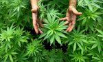 Piantagione di cannabis in giardino, arrestato un pregiudicato monteclarense