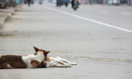 Cane ferito in mezzo alla strada, la compagna al suo fianco lo veglia