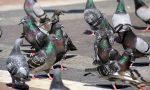 """Chiari dice """"basta"""" alla proliferazione dei piccioni"""
