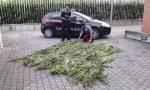 150 piante di marijuana nascoste fra il granturco