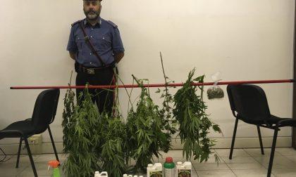 Coltivava piante di marijuana a Manerbio: arrestato