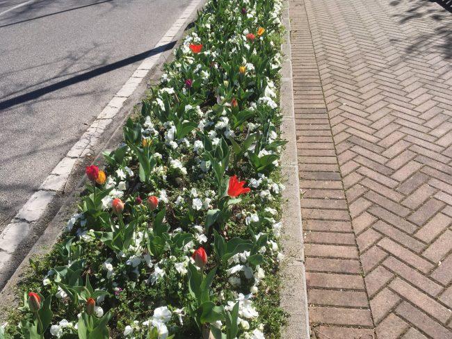 Fioriscono i tulipani