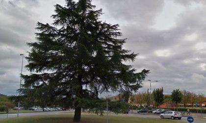 Tagliato un secolare cedro del libano a Castiglione