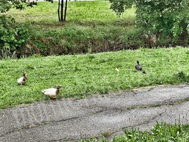 Furti di uova nel parco delle anatre, la protesta sul web dove in molti scrivono che alcune persone rubano le uova dai nidi delle anatre