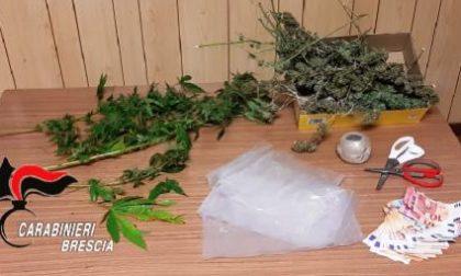 """Beccato con una pianta di """"maria"""" da due metri in cascina: arrestato"""