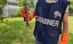 Tenta di vendere un falco di specie protetta: denunciato un travagliatese