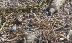 Carcasse di topo sul lungolago di Desenzano
