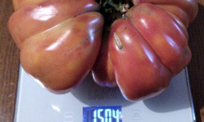 Un pomodoro da record: in Franciacorta un cuore di bue da un chilo e mezzo
