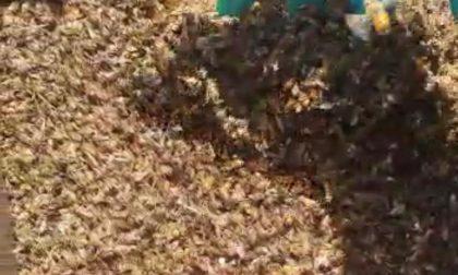 Moria di api nella Bassa: avvelenati 5 milioni di insetti impollinatori