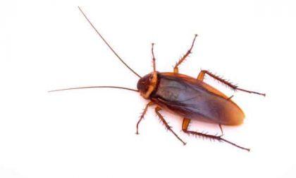 Proliferazione degli scarafaggi: è iniziata la lotta