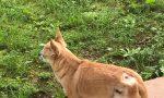Un labrador aggredisce un chihuahua nel giardino di casa: vicino denunciato