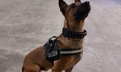 """Operazione """"Città sicura"""": la droga non sfugge al fiuto di Kimon, il cane poliziotto"""