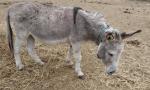 Centoventi asini e pony salvati dal maltrattamento