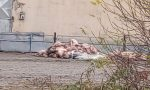 Crolla la stalla, quasi 100 maiali muoiono schiacciati – LE FOTO