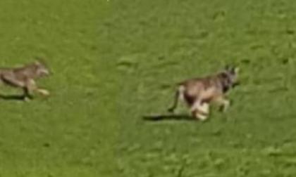 Lupi o cani selvatici? Gli avvistamenti intorno al colle di San Giorgio