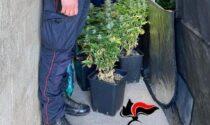 Trovata coltivazione di marijuana in un allevamento di polli