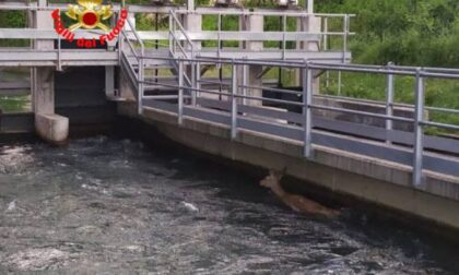 Cervo finisce nel canale, viene salvato dai pompieri