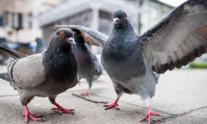 La Lombardia cerca ottocento cacciatori per abbattere fino a ventimila piccioni